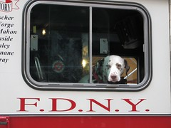 FDNY Dog Hanging Out (buff_wannabe) Tags: dog firetruck dalmation firemen fdny