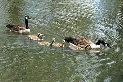 Full Steam Ahead! (*Michelle*(meechelle)) Tags: swimming swim geese five goose explore goslings naturesfinest fullsteamahead flickrsbest avianexcellence goldstaraward abwaterbirds