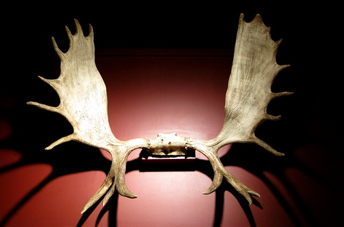 MooseAntlers