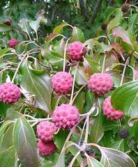 dogwood berries 10-08