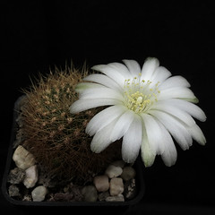 Sulcorebutia mentosa var. flavissima JO429 '388' (Pequenos Electrodomésticos) Tags: cactus cacto flower flor sulcorebutia sulcorebutiamentosavarflavissima