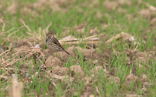 Pipit farlouse - Dompierre/Fribourg/CH_20161101_005-1