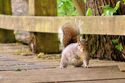 A gray squirrel at Pioneer Park in Stayton Oregon