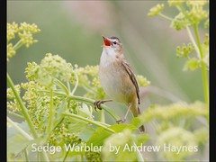 Sedge Warbler Song ( a photo with a soundtrack ) (Andrew H Wildlife Images) Tags: bird nature wildlife norfolk sedgewarbler canon7d ajh2008 cleymarshnwt