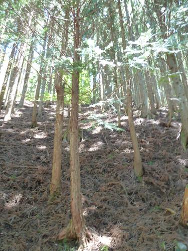 エコピアの森 間伐、枝打ちの必要性を説明