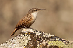 Canyon Wren (lfbaxter) Tags: canada bc oliver wren passeriformes catherpesmexicanus canyonwren