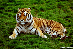 Siberian Tiger at Colchester Zoo, UK. (tombayly13) Tags: barcelona china california birthday christmas city uk family flowers blue autumn england blackandwhite bw food dog baby chicago canada black flower color berlin bird art fall film beach church car fashion birds animals bike festival architecture clouds cat canon de zoo dance football concert nikon asia europe day florida tiger united band kingdom australia gb siberian colchester d5000