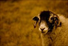 mr. baa (alternativefocus) Tags: sheep pentax lakedistrict cumbria lakeland lookingatyou pentaxk10d alternativefocus top20brown mrbaa