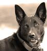 Molly in Sepia (Cal Bear 94) Tags: sanfrancisco rescue dog sepia puppy canine molly lovely bestfriend companion silky photogenic blueribbonwinner calbear golddragon impressedbeauty aplusphoto likestorunandjump