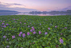 Purple invasion (Lus C) Tags: lake flower portugal nature landscape bravo soe invasivespecies waterhyacinth eichhornia flickrsbest pateira infinestyle jacintoaqutico