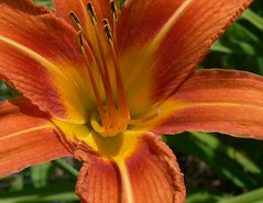 CLOSE UP OF A TIGER LILY (Frozen in Time photos by Marianne AWAY OFF/ON) Tags: flowers nature lily lilies orangeflowers tigerlilies flowercloseups flowerphotography nationalgeographicwannabes floweraddicts flowersgroup flowerpicturesnolimits elpasojoesplace flowerfloweria flowersarefabulous nationalgeographiswannabes