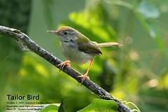 Tailor-Bird (GHULAM RASOOL MUGHAL) Tags: pakistan nature lahore beautifulpakistan avianfauna wildlifeofpakistan ghulamrasoolmughal