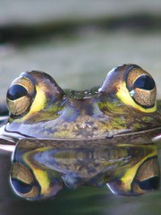 frogs eyes (2r0xf0x deLuXe) Tags: reflection eye water pond eyes amphibian shy frog eyeball swamp round frogs googly croak herp eyeballs glassy freshwater herpetology timid slimey naturesfinest googlyeyed specanimal motorbikefrog