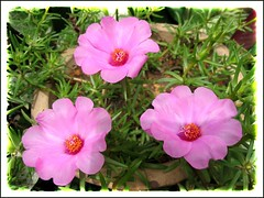 Potted Portulaca grandiflora, a pink+white variety measuring 2 inches across in our garden, captured Dec 21, 2007