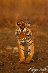 20th Jan 2008 - 40 (dickysingh) Tags: india nature outdoors outdoor wildlife tiger bigcat aditya predator ranthambore singh bengaltiger ranthambhore dicky wildtiger animalkingdomelite bfgreatesthits bfgreatesthits adityasingh ranthamborebagh theranthambhorebagh goldwildlife bangaltiger