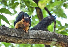 ?   Malabar Giant Squirrel (challiyan) Tags: india amazing superb awesome kerala awsome mice stunning 500mm cochin kochi cultural brilliance talented thrissur trichur keralam chalakudy vipin awesom  bestphotos graet greatshots athirappilly greatpictures picturesforsale topphotos stuning awesomepics indiangiantsquirrel ratufaindica malabargiantsquirrel chally awespme specialphotos siperb challiyan chalksy  vipincp kfm3 challsky   simga170500 saveathirappilly camerockscom camerocks brilliantshots