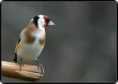 Stieglitz (Doris007) Tags: bird birds fauna wildlife goldfinch vgel soe vogel naturesfinest cardueliscarduelis europeangoldfinch blueribbonwinner mywinners impressedbeauty superbmasterpiece avianexcellence goldstaraward azofdigitalediting