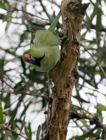 rose ringed parakeet stripping eucalyptus bark lalbagh 150308