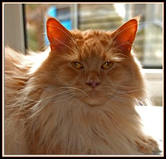 Happy Birthday, George! (fastcat!) Tags: cats march mainecoon 2008 creamsicles supershot kissablekats bestofcats kittyschoice georgebirthdayshots