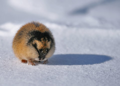 Norwegian lemming (balsamia) Tags: 70200mm 2h lemen lemmuslemmus norwaylemming veryskummel