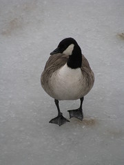 Helsinki 24 (Andrejček) Tags: animals finland helsinki animalplanet canadagoose brantacanadensis