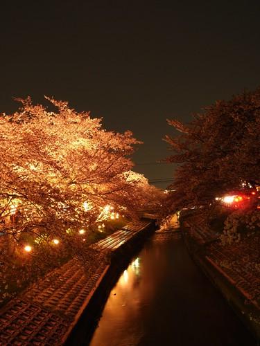 高田川(夜桜)-08