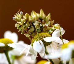 Praying mantis in armour (ilsebatten) Tags: mantis insect praying daisy superbmasterpiece macromarvels