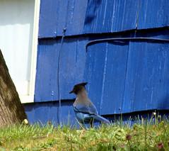 Blue on Blue (JTContinental) Tags: seattle blue urban birds photofaceoffwinner pfogold