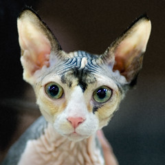 Calico Sphynx (peter_hasselbom) Tags: portrait cats face cat eyes ears ps tm calico sphynx wrinkles catshow notmycat cc100 cc1000 cat1000