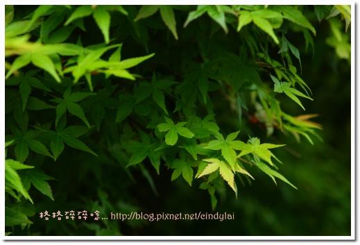 20080503楓紅_041