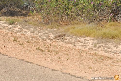 Perentie (Varanus giganteus)