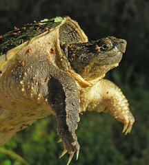 snapping turtle 6 (slider5) Tags: mississippi turtle snappingturtle chelydraserpentina noxubeecounty brillianteyejewel photocontesttnc08