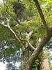 96.11.16竹崎鄉光華村茄苳風景區內的茄苳老樹DSCN3211