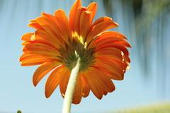 Gerbera (Swami Stream) Tags: road india flower macro canon rebel gerbera backlit usm 60mm karnataka osborne ulsoor xti masterphotos swamistream swamistreamcom