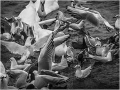 Bird Chaos Theory, Moses Gate Country Park, Bolton (Pitheadgear) Tags: mosesgatecountrypark mosesgate countryparks countryside bolton farnworth birds bird birdwatching ornithology blackandwhite mono monochrome bw