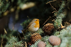 a little robin singing in a big tree (Franck Zumella) Tags: robin redbreast red tree rouge rougegorge chanter sing singing arbrebird oiseau little small petit closeup
