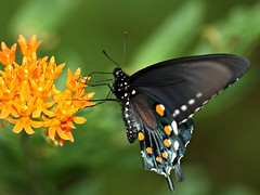 Pipevine Swallowtail on Butterfly Weed (DrPhotoMoto) Tags: side potofgold ventral pipevineswallowtail aplusphoto macrolife dragondaggerphoto