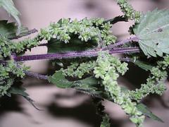 nettle seed