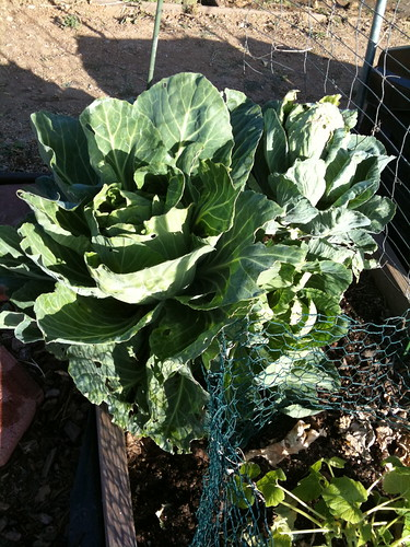 Cabbage and squash!