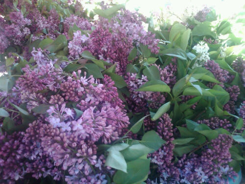 Lilacs at Dupont Market