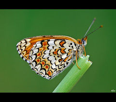 Melitaea phoebe (alfvet) Tags: macro nature closeup nikon ngc butterflies natura npc d60 farfalle greatphotographers diamondclassphotographer flickrdiamond buzznbugz ahqmacro veterinarifotografi photographymypassion mygearandme mygearandmepremium mygearandmebronze mygearandmesilver mygearandmegold mygearandmeplatinum mygearandmediamond allnaturesparadise artistoftheyearlevel4 aboveandbeyondlevel1 flickrstruereflection1 flickrstruereflection2 flickrstruereflection3 flickrstruereflection4 flickrstruereflection5 flickrstruereflection6 flickrstruereflection7 artistoftheyearlevel5 flickrstruereflectionexcellence elitespotsanddots allofnatureswildlifelevel1 allofnatureswildlifelevel2 allofnatureswildlifelevel3 allofnatureswildlifelevel4 allofnatureswildlifelevel5 allofnatureswildlifelevel8 allofnatureswildlifelevel6 allofnatureswildlifelevel7 vigilantphotographersunite
