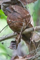 Sri Lanka Frogmouth (Batrachostomus moniliger) (Mike Prince) Tags: india birds kerala aves frogmouths thattekad batrachostomusmoniliger podargidae srilankafrogmouth