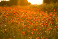 Poppy Field (axel_07) Tags: sunset sunshine canon landscape spring flora eveningsun hampshire 7d poppy poppies basingstoke 2011 poppyfield sigma70200mmf28exdg