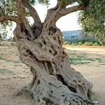 olivier / olive tree