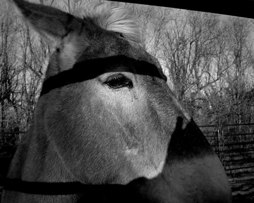 mule bw
