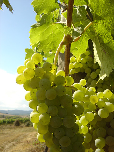 Muller-Thurgau at Dylan's Run Vineyard