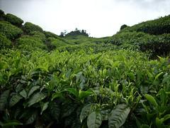 DSCN0303 (huai*) Tags: highlands tea cameron teaplantation
