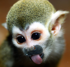 Squirrel monkey (floridapfe) Tags: animal animals zoo monkey nikon squirrel korea everland squirrelmonkey damncool babyanimal  d80 35faves superaplus aplusphoto platinumheartaward