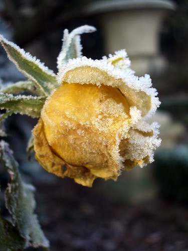 Iced Rose Yellow