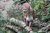 Cougar (Puma concolor), Wildlife Prairie State Park IL DDZ_0018 (NDomer73) Tags: mammal october captive cougar 2007 wildlifeprairiestatepark 15october2007